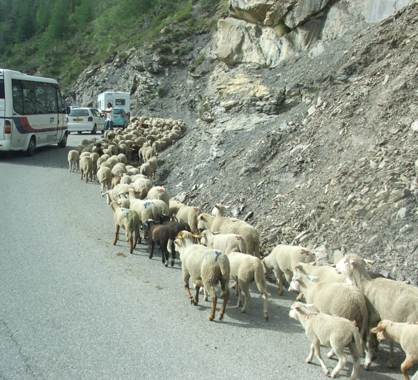 Sheep on the road, southeastern France (© 2008 clasticdetritus.com)